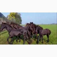 Жеребята фризской лошади, фриз