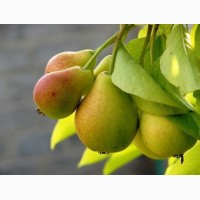 Продажа груши оптом от 5 тонн