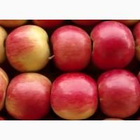 Продажа крупных яблок с огромного сада (лучшая цена и качество)