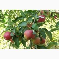 Саженцы колонновидной яблони