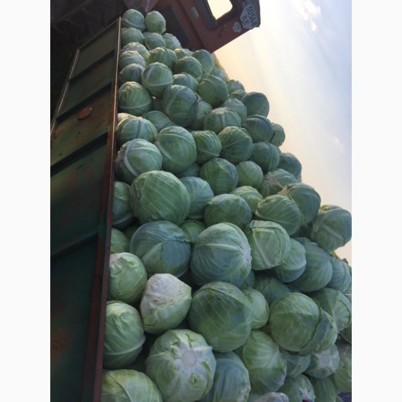 Продам капусту сорт зимовий на зберігання АГРЕСОР ф1 опт з поля, Винницкая обл.