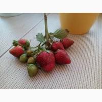 Продам розсаду полуниці, сорт магнус