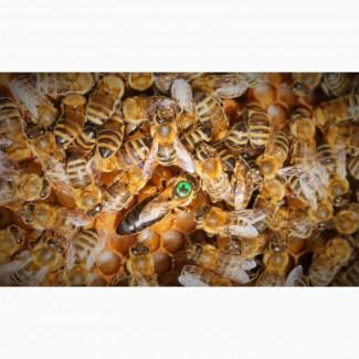 Бджоломатка Карпатка 2020 Плодные пчеломатки Хорошего качества