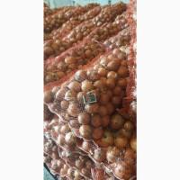 Продам лук от производителя
