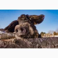 Продаються свині угорської породи «Мангалиця»