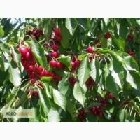 Саженцы вишни плодовые фруктовые деревья купить в Киеве и др. растения