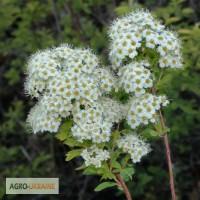 Таволга цвет (лабазник вязолистный) 50 грамм