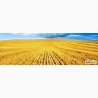 Купим пшеницу, кукурузу