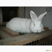 Продам кроликов НЗБ