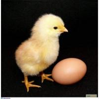Яйцо инкубационное куриное, яйце інкубаційне куряче Адлер сріблястий