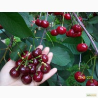 Саженцы вишни Уралочка