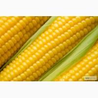Пропоную купити насіння кукурудзи