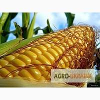 РАМ 8153 новый гибрид кукурузы фао 340