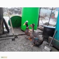 Продам інкубаційне яйце Української Хохлатої качки