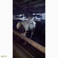 Бычки 400 кг и больше мясных пород