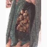 Виноградні равлики, живі равлики, улитки, також експортуємо;