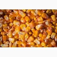 Дорого куплю кукурузу некондиционную