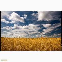 Закупка зерновых: пшеница, ячмень, кукуруза