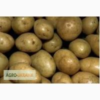 Куплю картофель в Винницкой области от 10 тонн. Дорого