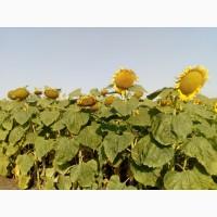 Семена подсолнечника Матадор под Гранстар ВНИС