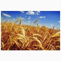 Пшеница 2-3 класса ТОВ АФ ЛАН