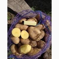 Продам картофель сорта Королева анна