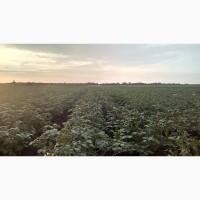 Продам товарный картофель сорт ГРАНАДА