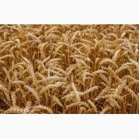 Купляємо пшеницю поганої якості