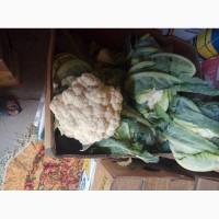 Продам цвитну капусту сорт Наутилус