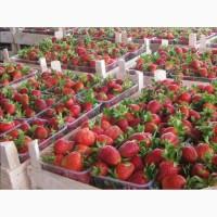 Полуниця Полка (Polka Strawberry) саджанці полуниці Фріго