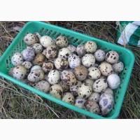Продам домашние яйца перепелов оптом