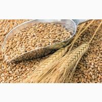 Куплю пшеницю 3 та 4 класів у великих об#039;ємах