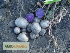 Продам посадочный картофель Солоха и Хортица, Винницкая обл.