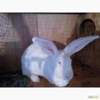 Продам кроликов породы белый великан