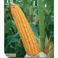 Пропонуємо насіння кукурудзи гран 6