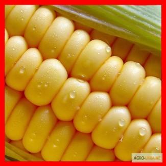 Посевной материал кукурузы. Производство Венгрия
