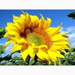 Семена подсолнечника Златсон 70грам