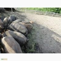 Продам поросята та дорослі свині породи мангал
