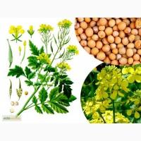 Продам семена Сидератов, Горчица белая, Горчица Желтая, Фацелия. Опт и розница