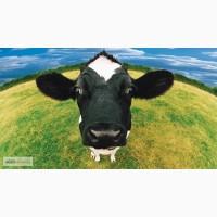 Куплю корову Радомишль