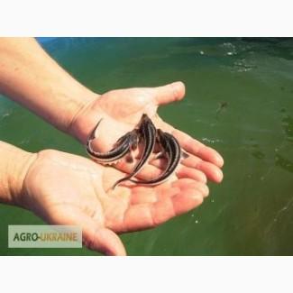 Продаем сеголетку частиковых и осетровых рыб, зарыбок карася