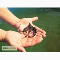 Продаем малек частиковых и осетровых рыб
