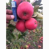 Продам яблуко з саду Сорт: Чемпіон Рено