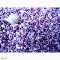 Воздушные семена чеснока (воздушка) cорт Софиевский