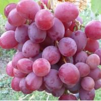 Cаженцы винограда сорт Анюта