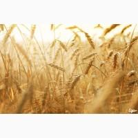 Предприятие закупает зерно