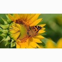 Семена подсолнечника - Аурис