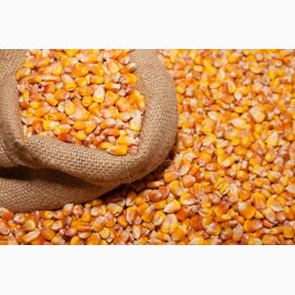 Куплю кукурузу с хозяйства, с комбайна