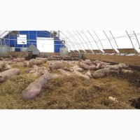 Продаю свиней 3-х породный гибрид