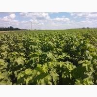 Продам лицензионные саженцы черной смородины польских сортов
